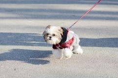 Gå hunden Royaltyfri Bild