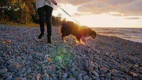 Gå hunden längs banken av en sjö eller havet Den australiska herden är bredvid lyxfnasket På solnedgången lager videofilmer