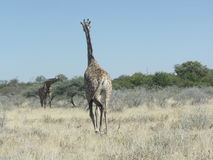 Gå i Afrika Royaltyfri Fotografi