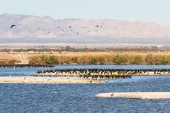 Gå i ax doppingar, Salton hav, Kalifornien royaltyfri bild