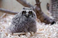 gå i ax lång otusowl för asio fågelunge arkivbilder