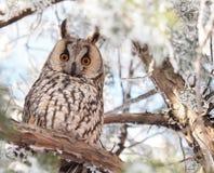 gå i ax lång owl Royaltyfri Bild