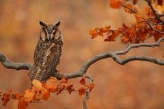 gå i ax lång owl Arkivfoton