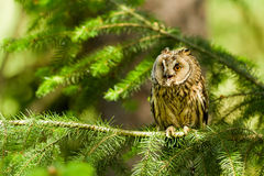 gå i ax lång owl Royaltyfri Foto