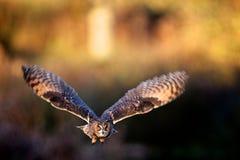 gå i ax lång owl för flyga royaltyfri foto