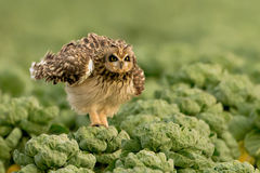 gå i ax owlkortslutning Royaltyfria Foton