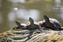 gå i ax röd glidaresköldpadda royaltyfri foto