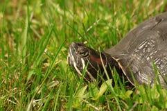 gå i ax röd scriptatrachemyssköldpadda Royaltyfri Fotografi