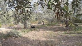 Gå i en olivgrön dunge stock video