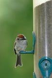 gå i flisor liten sparrow arkivfoto