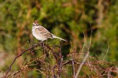 Gå i flisor Sparrow Perched på taggiga Bush Royaltyfri Bild