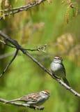 gå i flisor sparrows två Arkivfoto