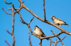 gå i flisor sparrows två Royaltyfri Foto