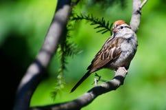 Gå i flisor sparven som sätta sig i ett träd Royaltyfri Foto