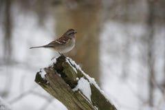 Gå i flisor sparven, täckte snö journalen Royaltyfri Foto