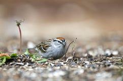 Gå i flisor sparvfågeln som äter frö, AtenGUMMIN, USA royaltyfri bild