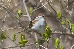 Gå i flisor sparvsångfågeln som sjunger i ett vårträd Arkivbild