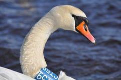 gå i flisor stum swan arkivbilder