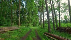 Gå i grön skog i solig dag i Polen arkivfilmer