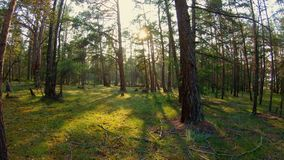 Gå i skogen på solnedgången stock video