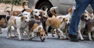 Gå med en packe av beaglehundkapplöpning, panorama- format arkivfoto