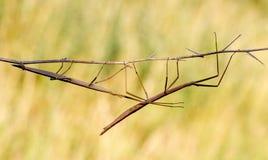 Gå pinnen, Diapheromera femorata, Phasmatodea Arkivfoton