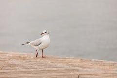 Gå seagull Arkivfoton
