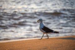 Gå seagullen på kanten av Atlantic Ocean under härlig soluppgång på Praia Vermelha sätta på land arkivfoton