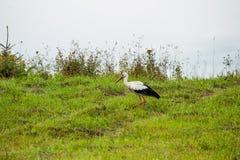 Gå storken Royaltyfri Foto