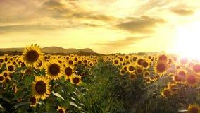 Gå till och med ett solrosfält. Sömlös ögla arkivfilmer