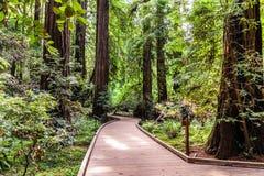 Gå till och med Muir Woods National Monument royaltyfri bild