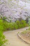 Gå vägen med körsbärsröda blomningar Royaltyfri Foto
