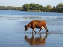 gå vatten Fotografering för Bildbyråer
