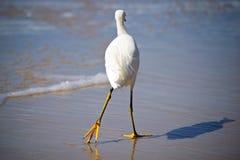 gå white för egret Royaltyfri Fotografi