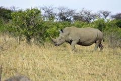 gå white för noshörning Royaltyfri Fotografi