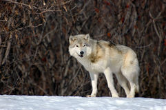 gå wolf Royaltyfri Fotografi