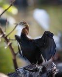 gådd mot cormorantwhite Arkivbilder