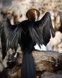 gådd mot cormorantwhite Arkivbild