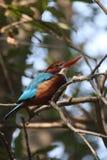 gådd mot kingfisherwhite Arkivfoto