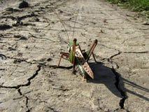 gående gräshopparesa long Royaltyfria Bilder