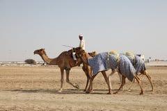 gående race för kamel som ska spårings Arkivfoton