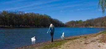 gående swans för away flicka Arkivfoto