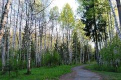 Gångbana bland björk- och granträd Royaltyfri Bild
