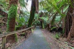 Gångbana bland ormbunkar i rainforest in mot Russell Falls, Tasmanien Arkivbild