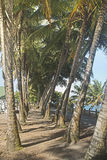 Gångbana mellan kokospalmer, Puerto Rico Royaltyfria Bilder