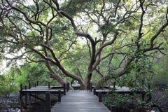 Gångbana som göras från trä- och mangrovefält av skogen för Thung kloläderrem Arkivbilder
