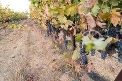 Gångbanabana med druvor på vingårdar royaltyfri bild