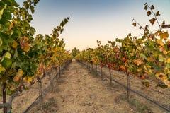 Gångbanabana på vingårdar arkivfoton
