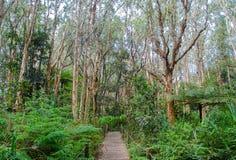 Gångbanaparkerar trästrandpromenaden i den vintergröna skogen på den Sydney hundraårsjubileet royaltyfri bild