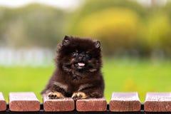 Går den pomeranian valpen för svart och för solbrännan utomhus- royaltyfri foto